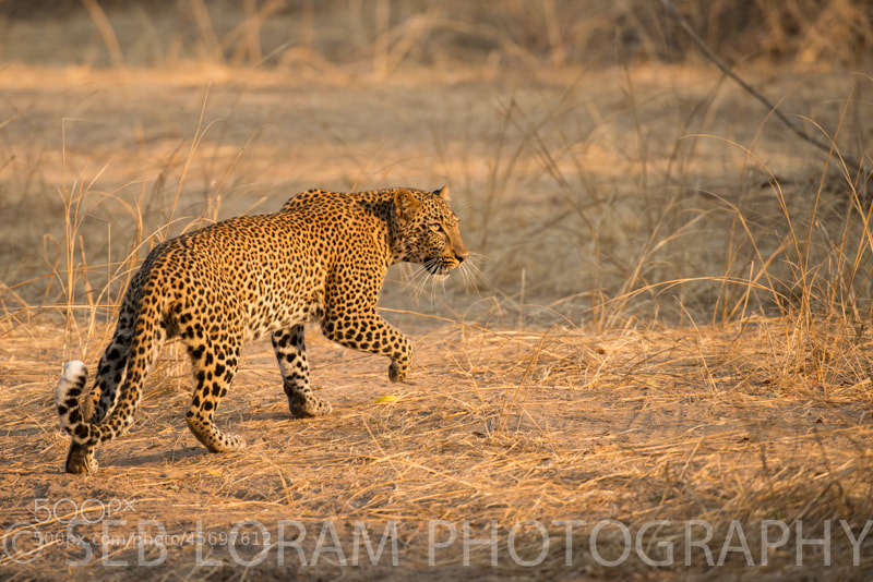 Photograph Elusive Leopard by Seb Loram on 500px