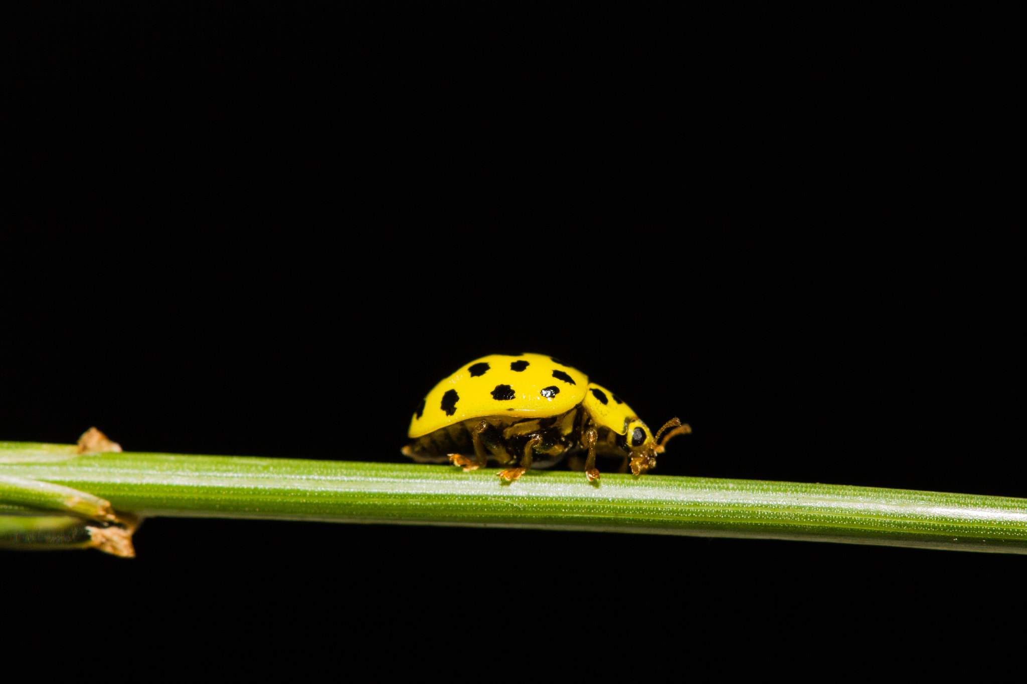 Photograph Yellow Ladybird by SiriusPhotographie on 500px