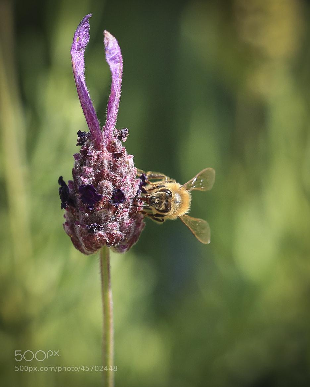 Photograph Macro of a Bee on Salvia by Dora Korzuchowska on 500px