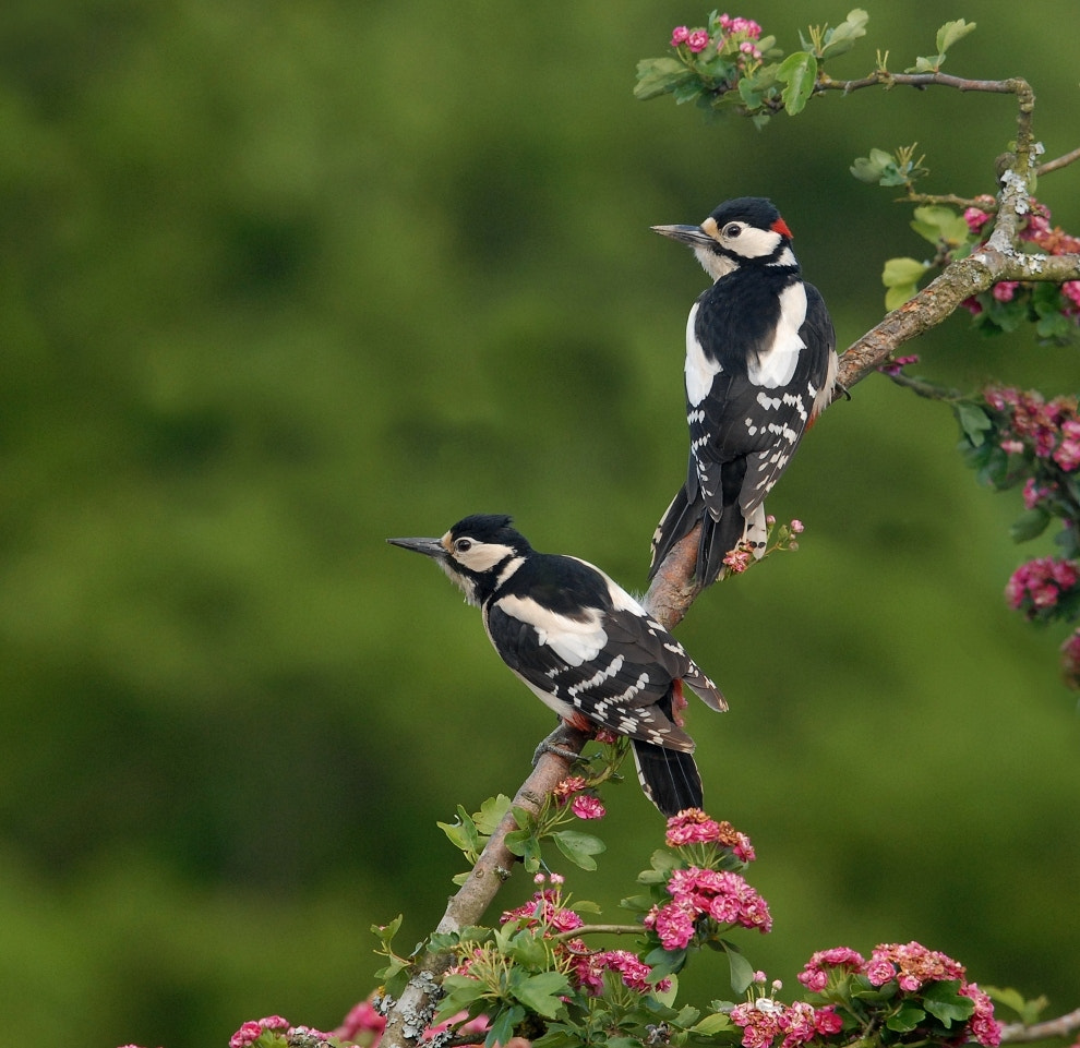 Photograph Greater Spotted Woodpeckers by John Robinson on 500px