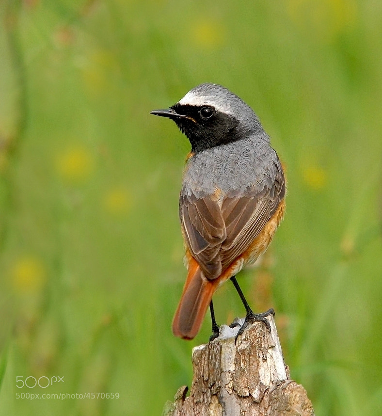 Photograph Redstart by John Robinson on 500px