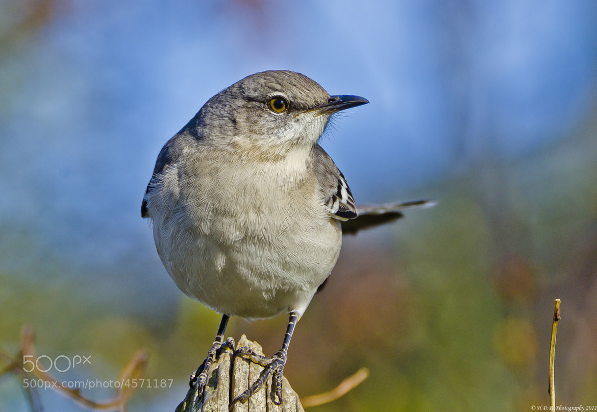 Photograph Northern Mockingbird by Harold Begun on 500px