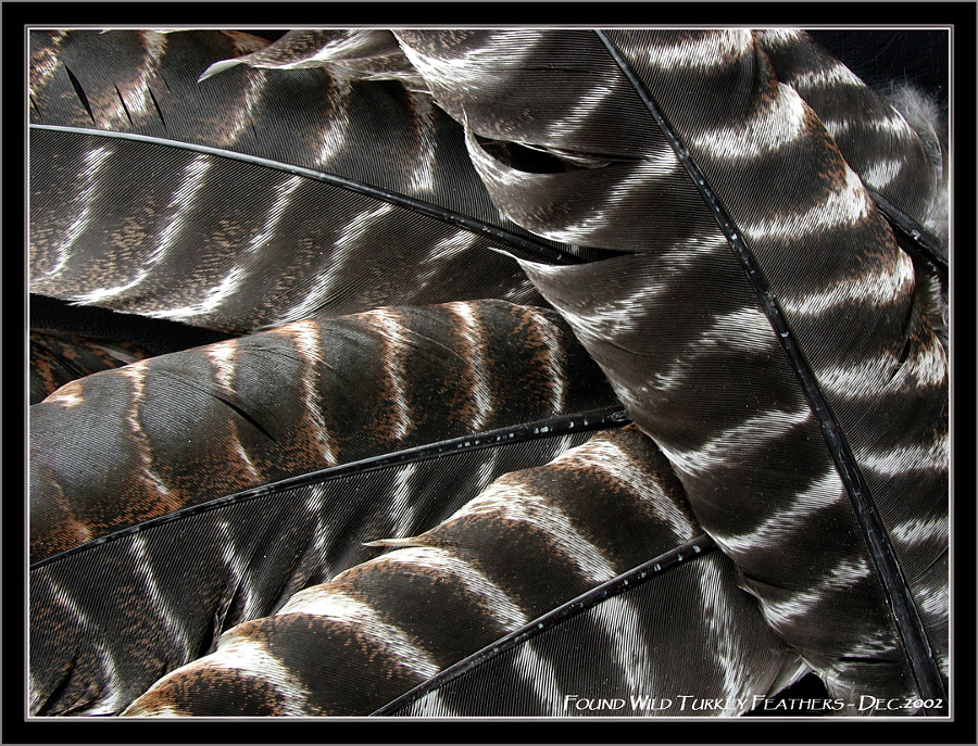 Wild Turkey Feathers