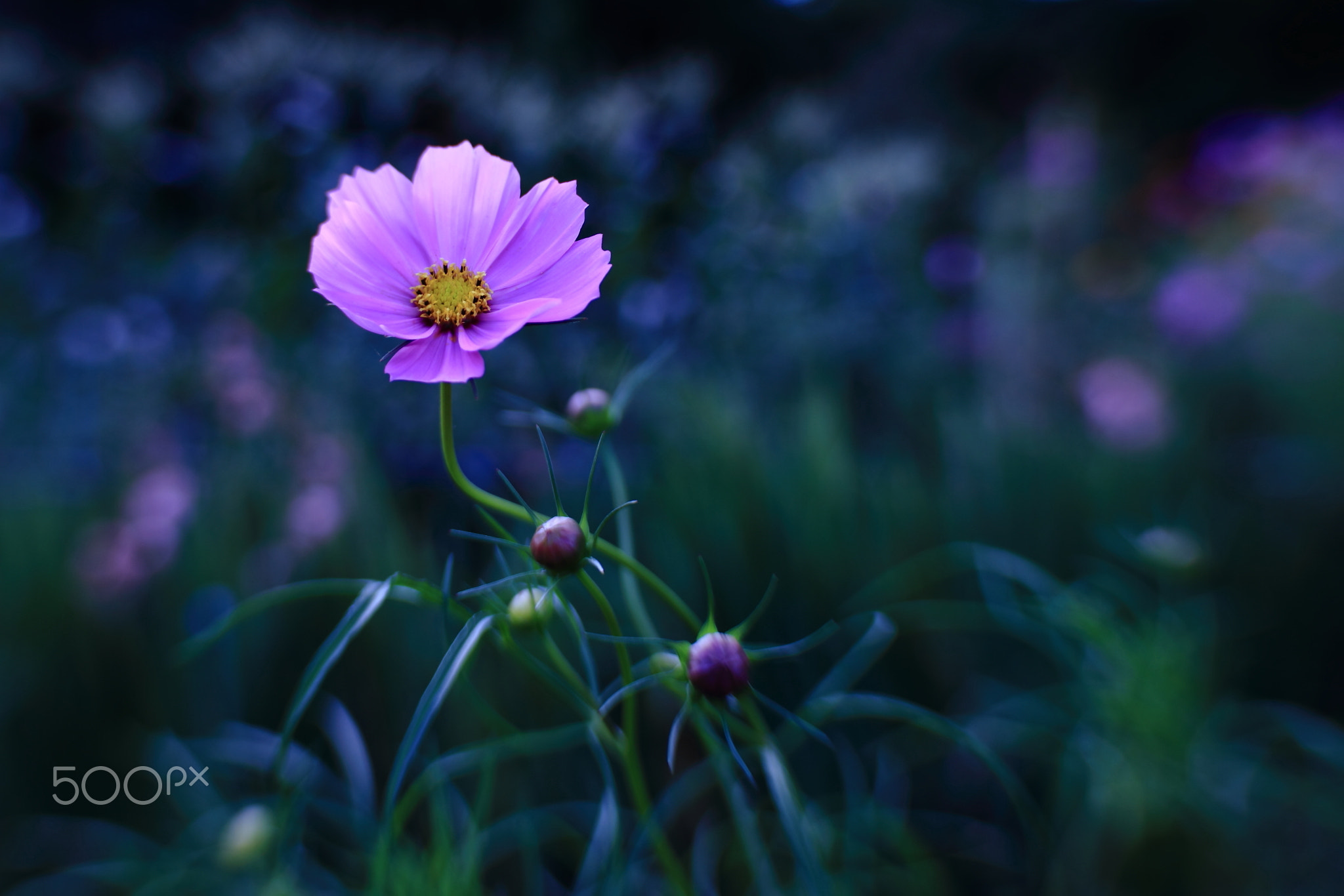 Photograph Cosmos by Shihya Kowatari on 500px