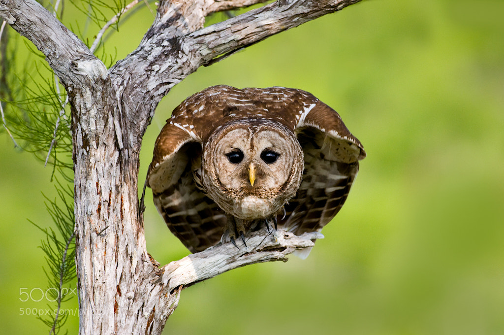 Photograph Barred Owl Stare by Alex Mody on 500px