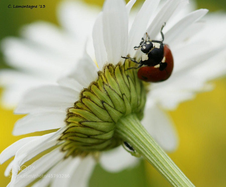 Ladybug under and Daisy. I think she was trying to hide from me :)