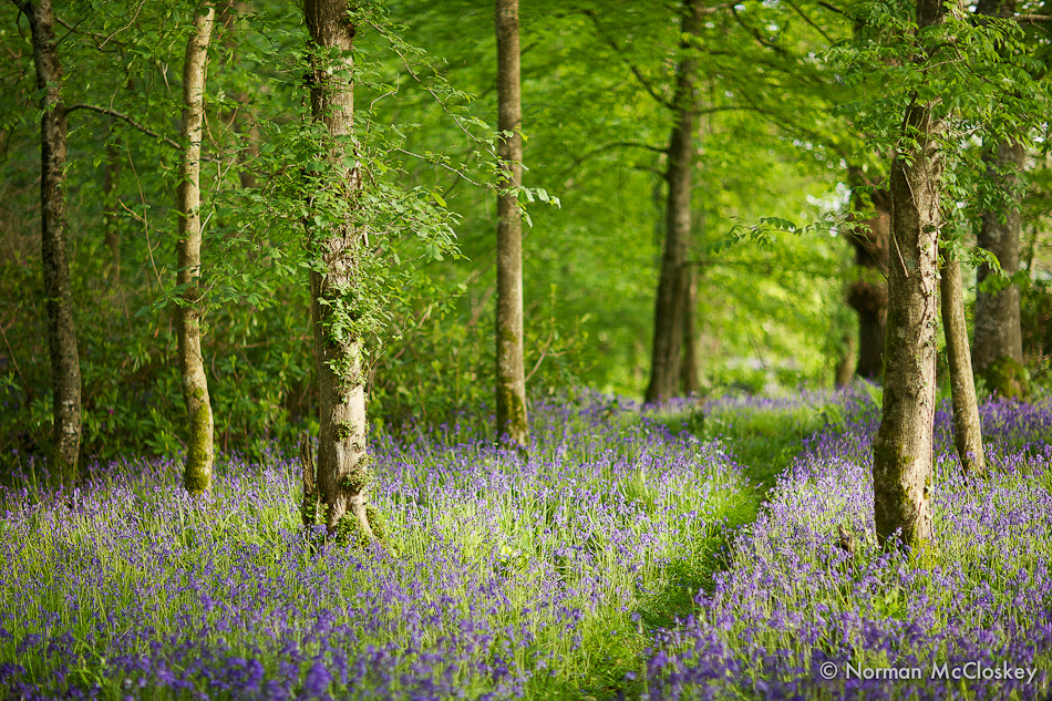 Photograph Bluebells by norman mccloskey on 500px