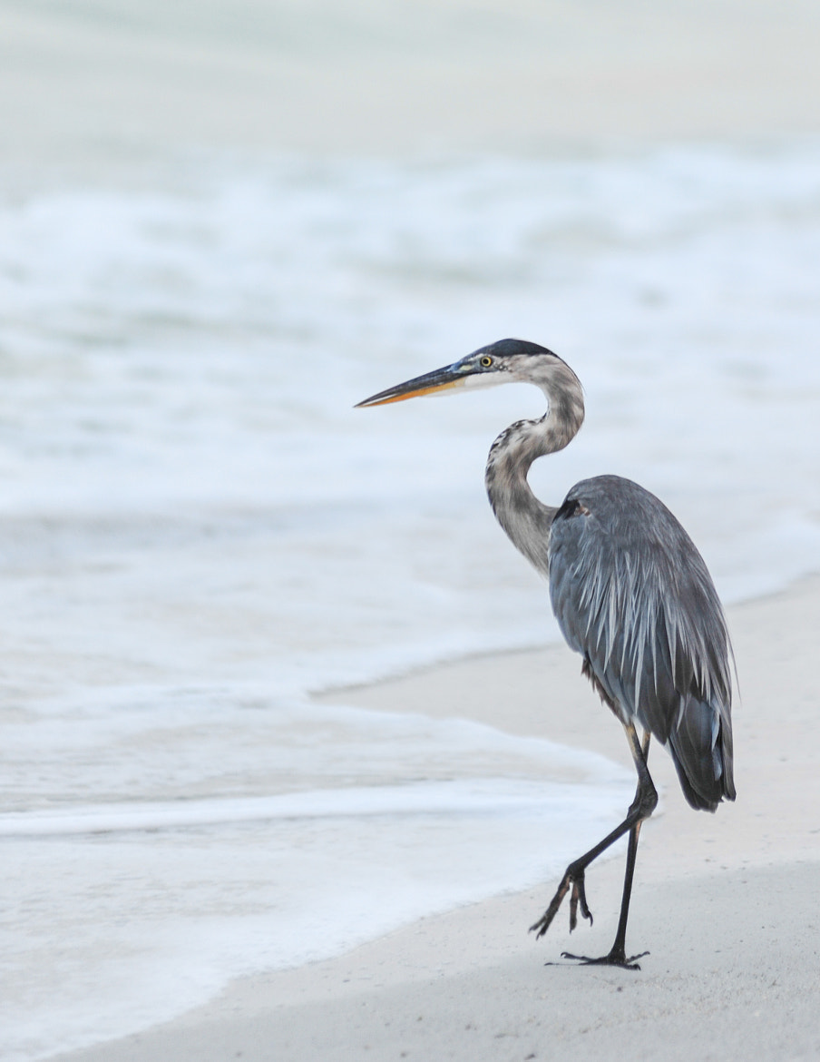 Photograph Great Blue Heron Fishing by John Kennington on 500px