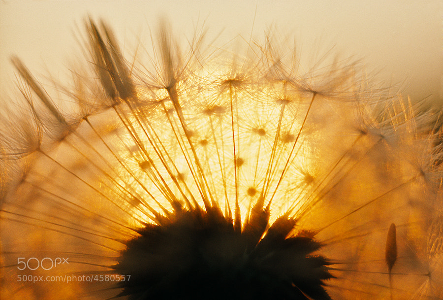 DANDELION,(TARAXACUM OFFICINALE,) SEEDS AT SUNSET. CLOSE UP