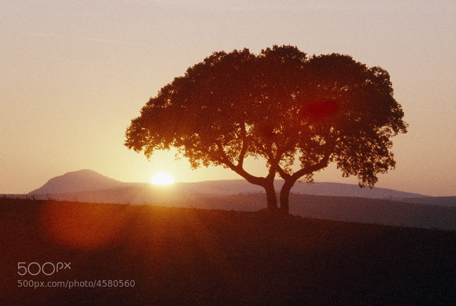 OLIVE TREE AT SUNSET NEAR ATEQURA SOUTHERN SPAIN