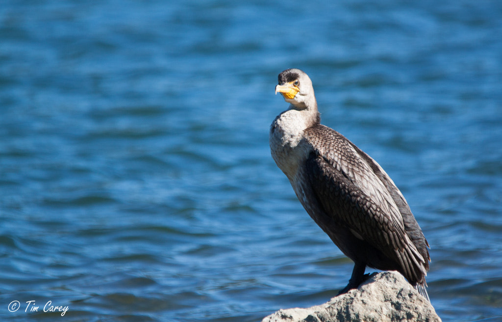 Photograph Double-crested Cormorant by Tim Carey on 500px