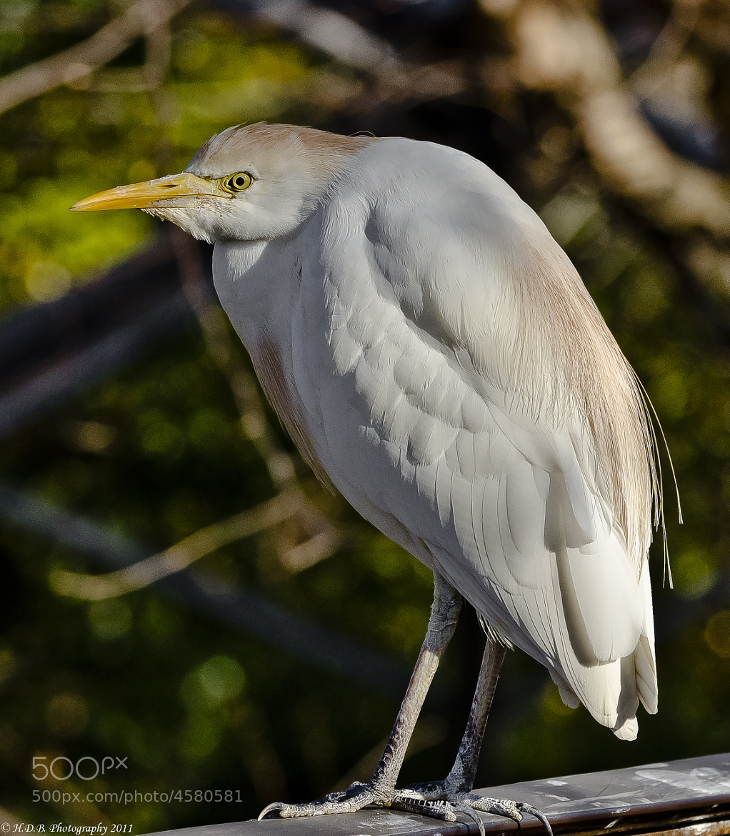 Photograph Cattle Egret  by Harold Begun on 500px