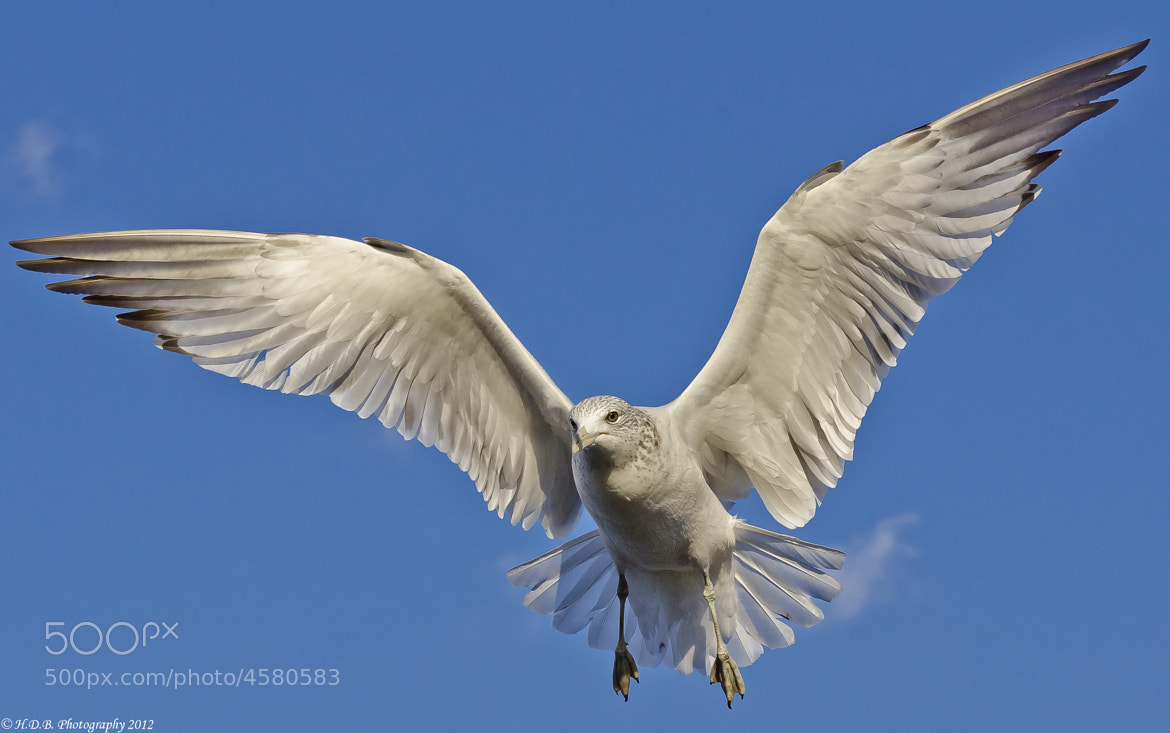 Photograph Seagull by Harold Begun on 500px