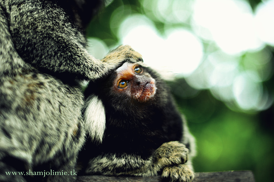 Photograph Marmosets by Sham Jolimie on 500px