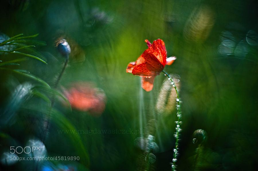Photograph Maziaj łąkowy by Magda Wasiczek on 500px