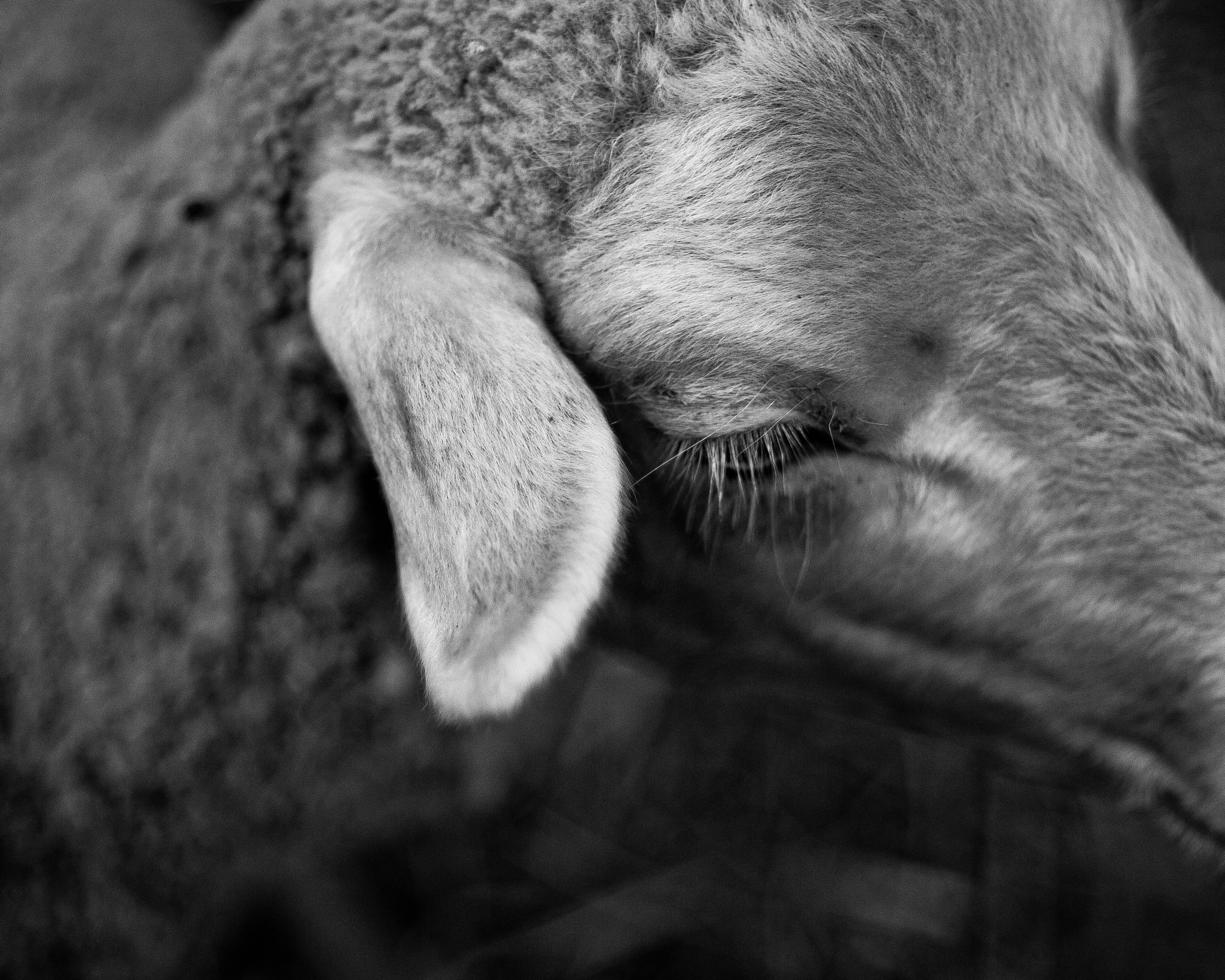 Photograph Sheep intimity by Gilles Domard on 500px