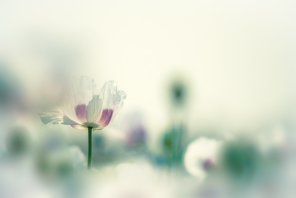 Photograph Poppy in pastel by Jan Teeuwen on 500px