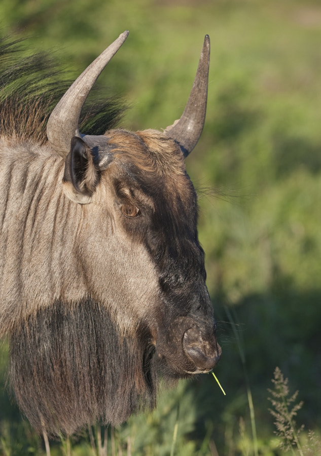 Getting the eye of a Gnu to appear in an image is never easy, here you can see the eylashes that are the major hindrance
