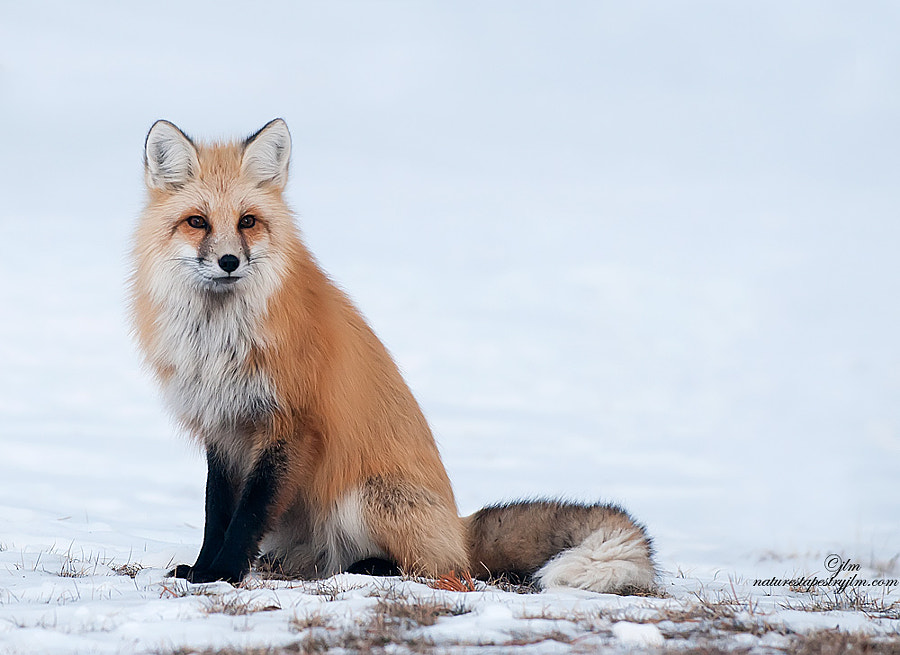 This beautiful mountain fox of Wyoming just stopped long enough to give us a few rare opportunities to capture him posing .  They truly are a beautiful animal and we were thrilled to see hi.
