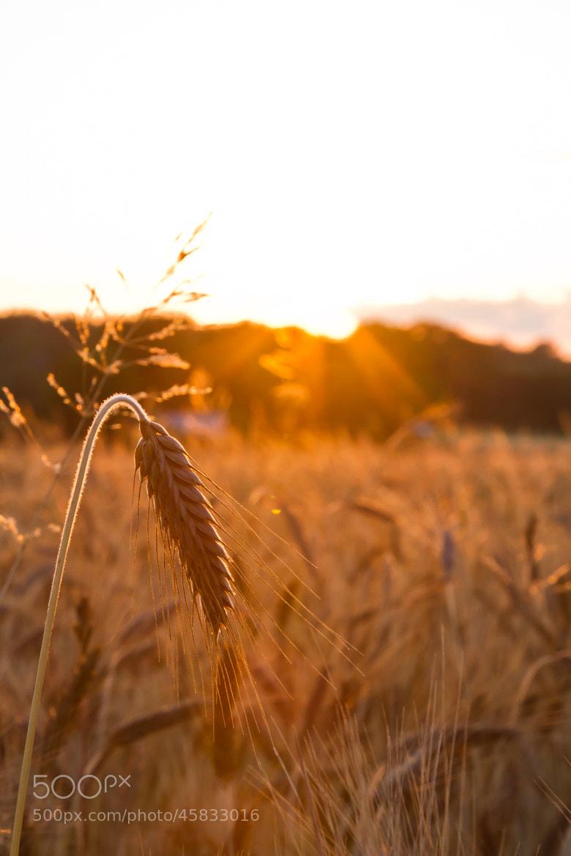 Photograph Fields of Gold by Jasper van den Heuvel on 500px