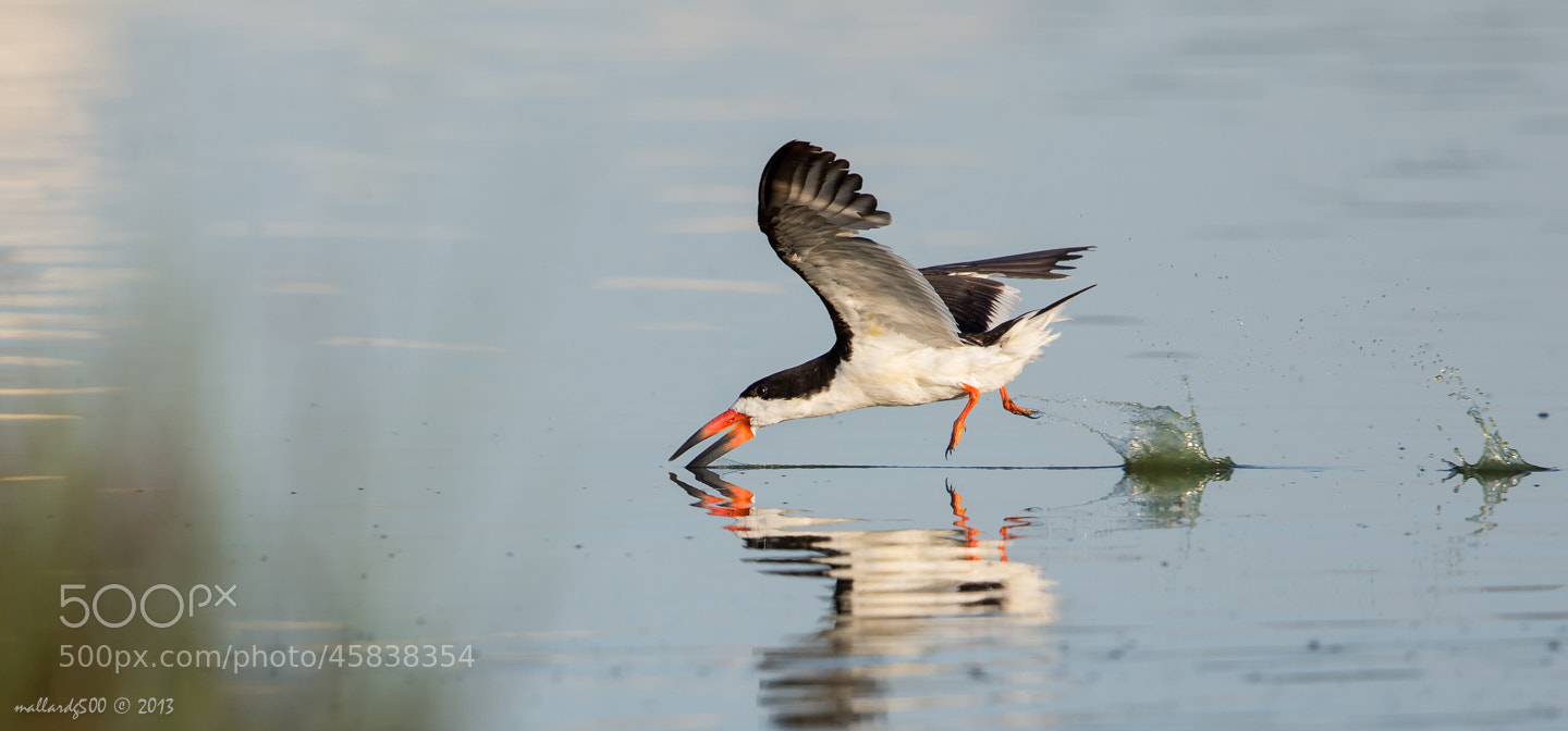 Photograph Skimmer Skimming by Phoo (mallardg500) Chan on 500px