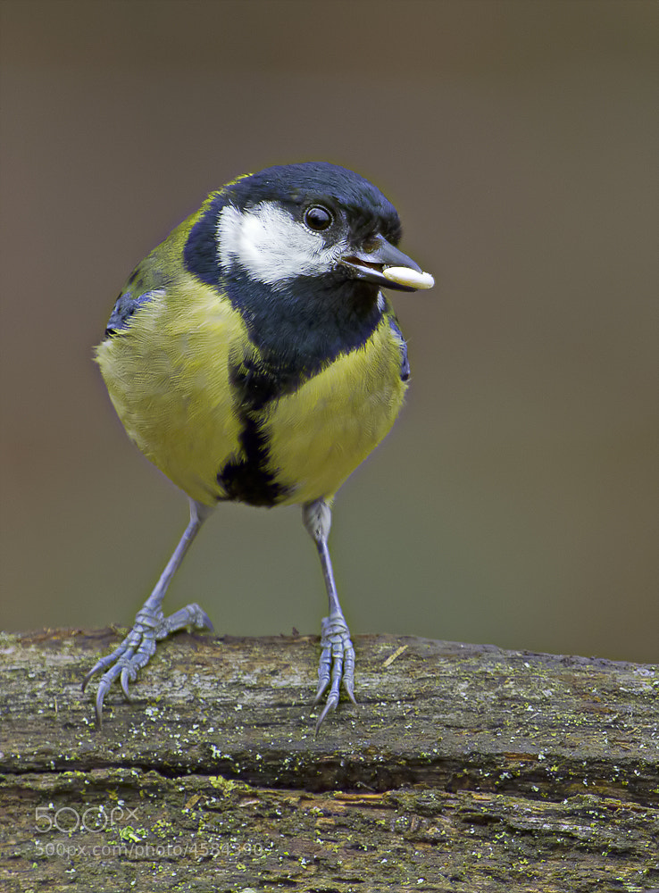 Photograph Great Tit by Richard Bond on 500px