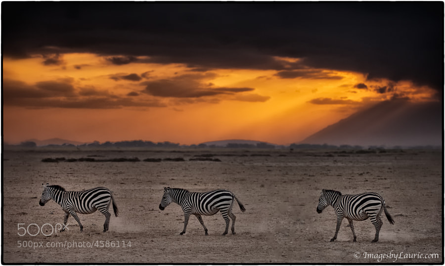Zebras at Sunrise