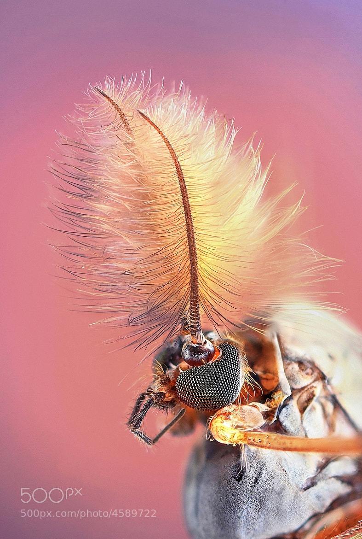 Photograph Chironomus plumosus by Kvejlend (Dusan Beno) on 500px