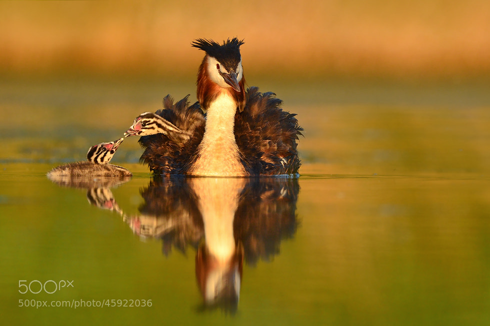 Photograph Podiceps cristatus by Erik Müller on 500px