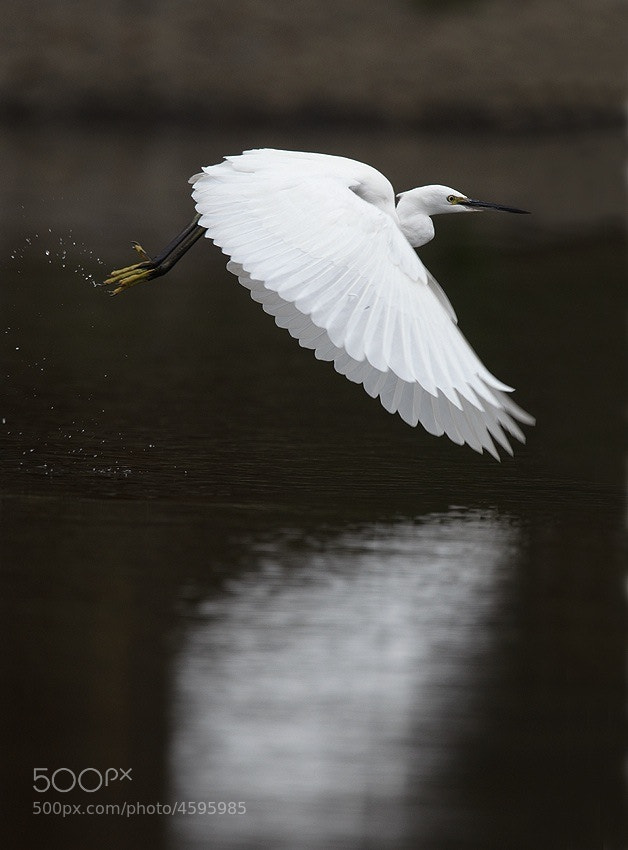 Photograph Little Egret by Peter Edge on 500px
