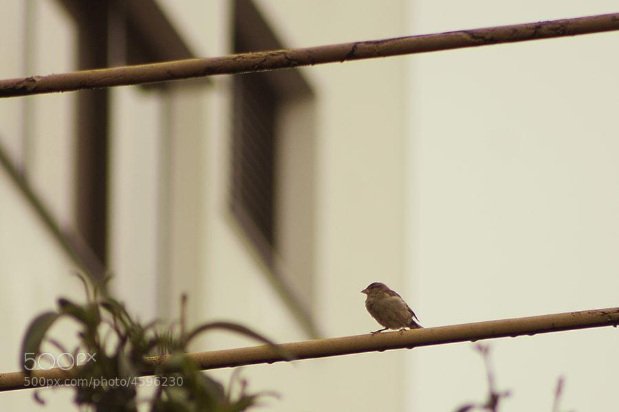 sparrow by Adriano Carvalho (adrianocarvalho)) on 500px.com