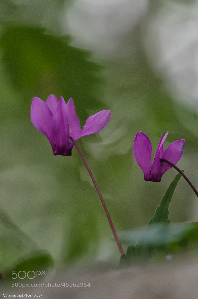 Photograph cyclamen by lapococa on 500px