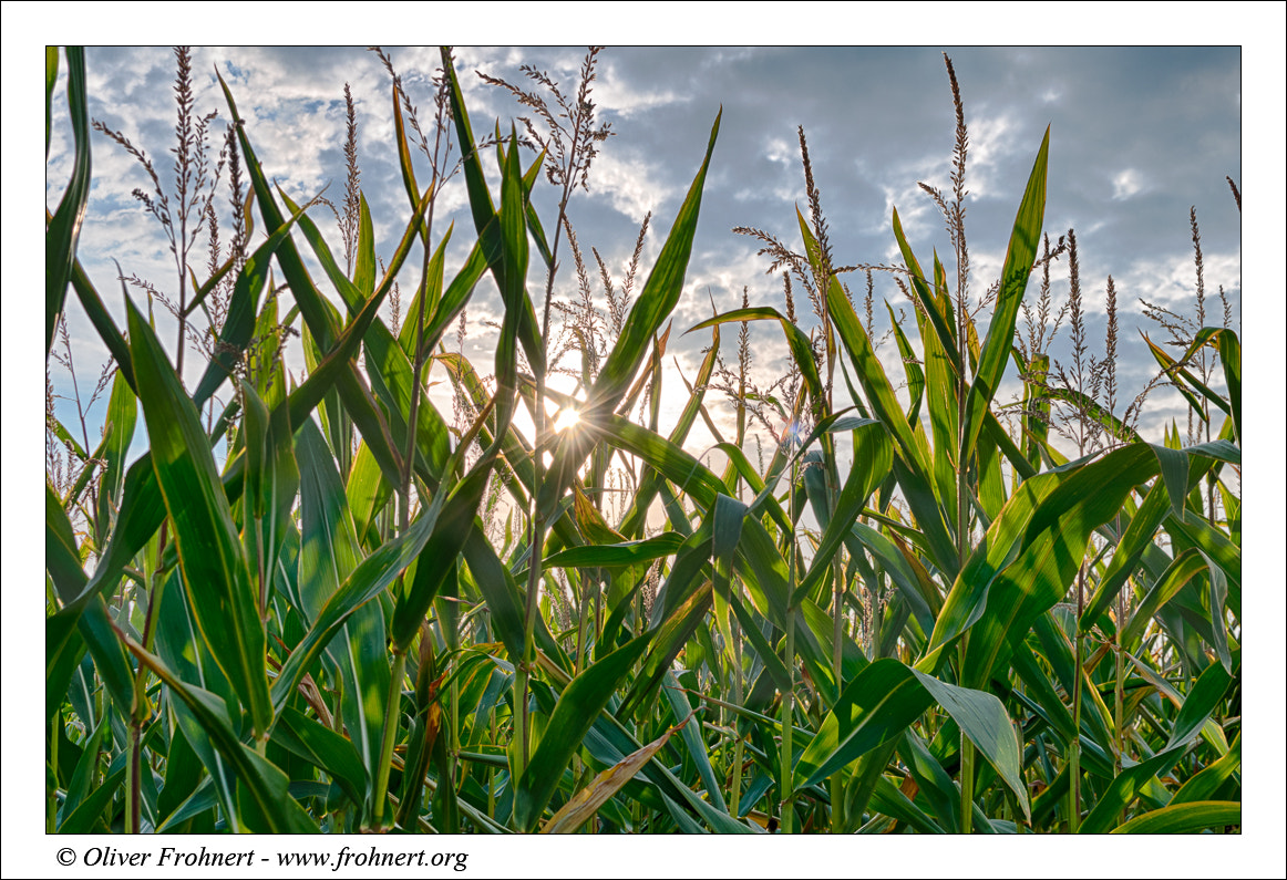 Photograph Sunset thru Corn by Oliver Frohnert on 500px