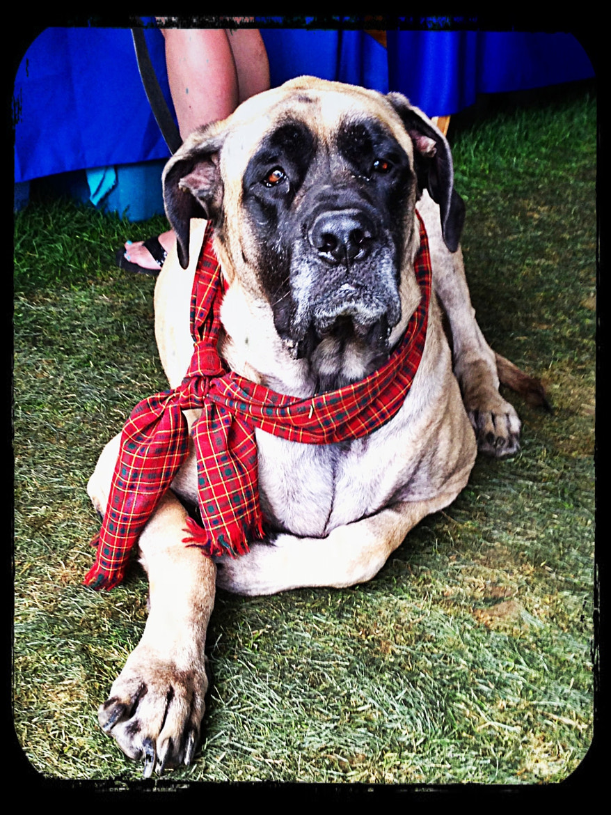 Photograph Tartan English Mastiff by James Herzog on 500px