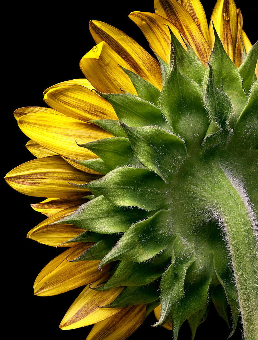 Photograph Sunflower Study 1 by Caryn Seifer on 500px