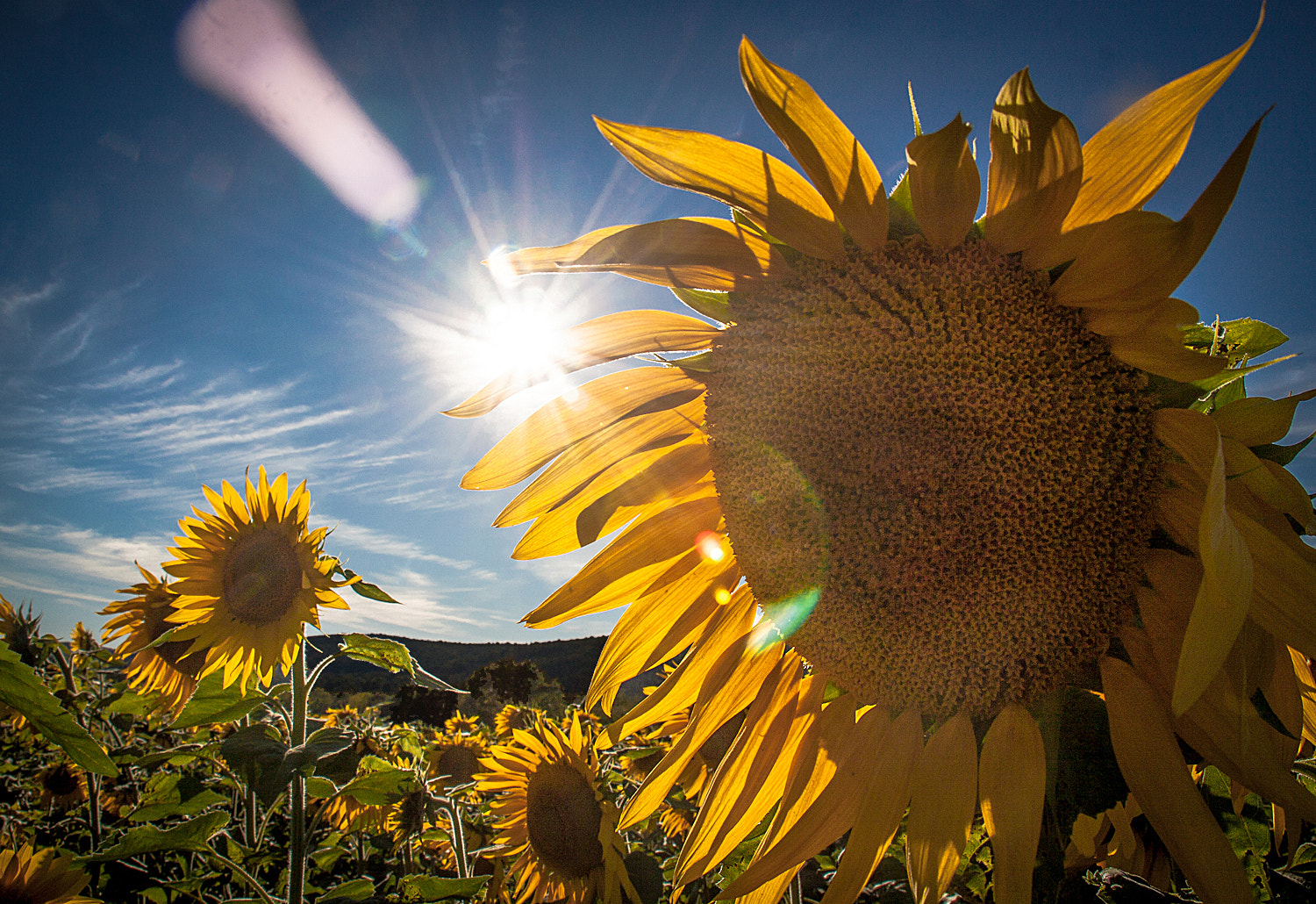 Photograph SUNflowers! by Lorene Lavora on 500px