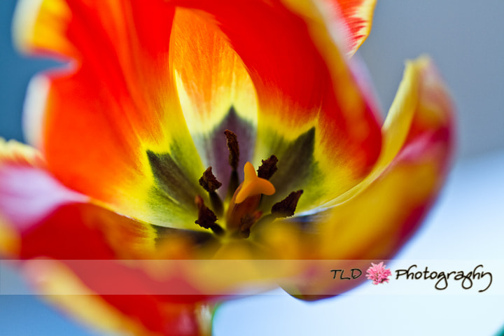 Photograph Open Happy Tulip by Tracy Lynn Deis on 500px