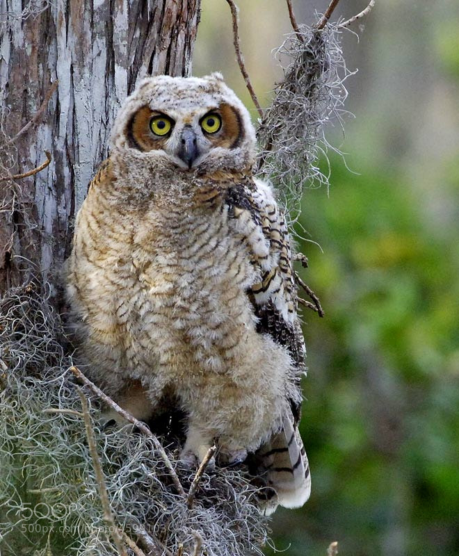 This is a juevenile great horned owl that had just left the nest for the first time and was beginning to try his wings.  What a great treat it was to follow the progress of this young owlette from birth until it flying left the nest.