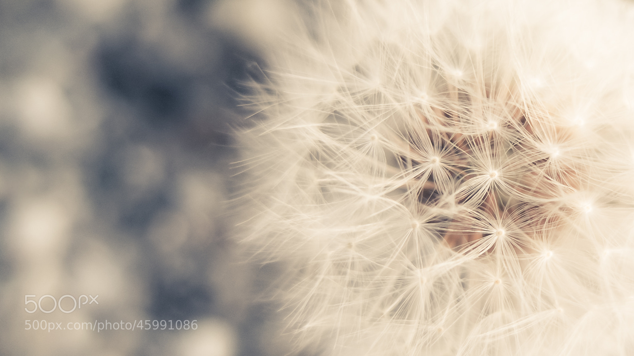 Photograph Soft Dandelion by Ninnie B on 500px