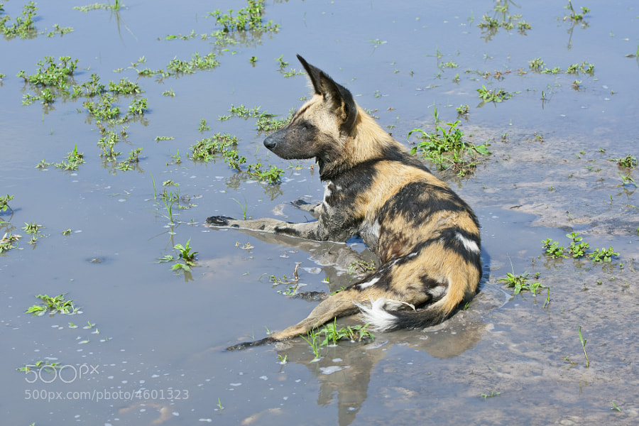 I think the title says it all, A wid dog has a lay down after playing. The cloudiness in the water is caused by heavy rain the previous afternoon.