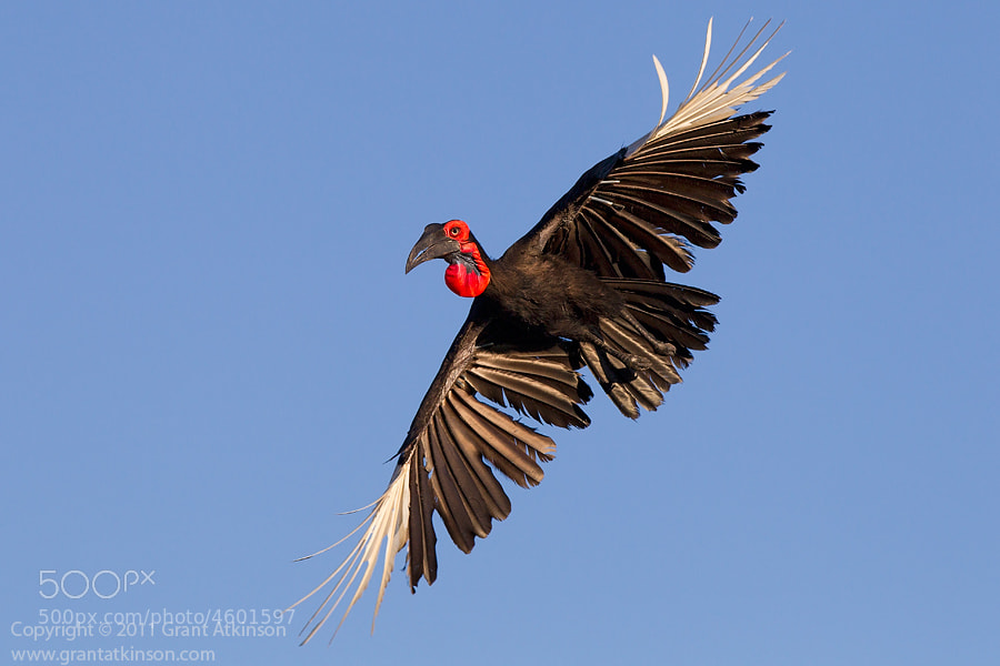 Photograph Southern Ground Hornbill In Flight by Grant Atkinson on 500px