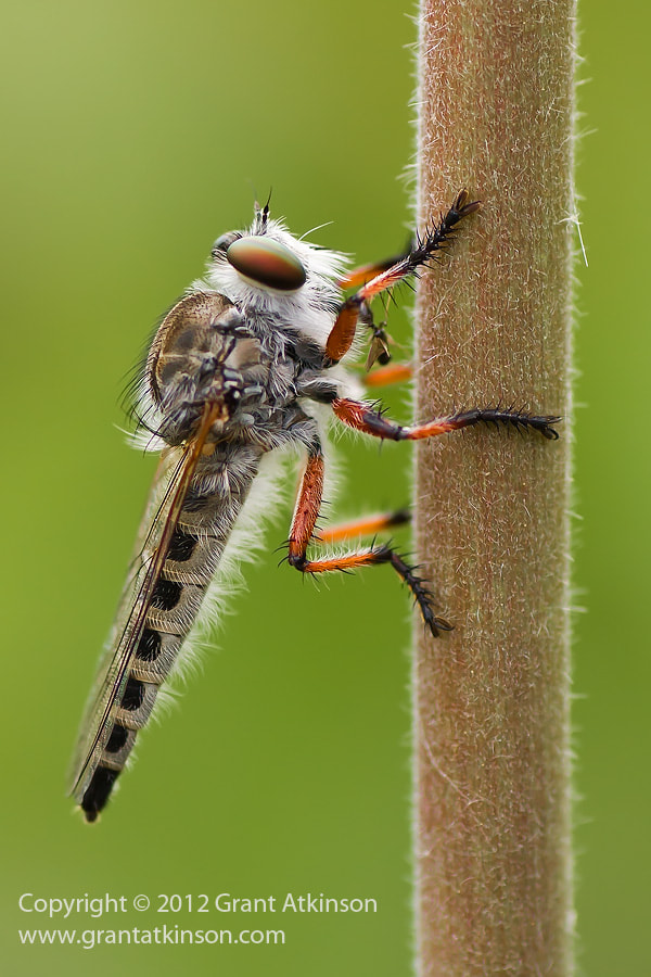 Photograph Robber Fly At Rest by Grant Atkinson on 500px