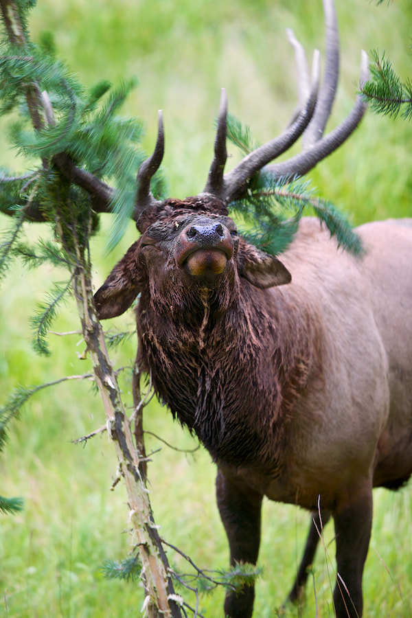 Photograph The Rutting Look by Buck Shreck on 500px