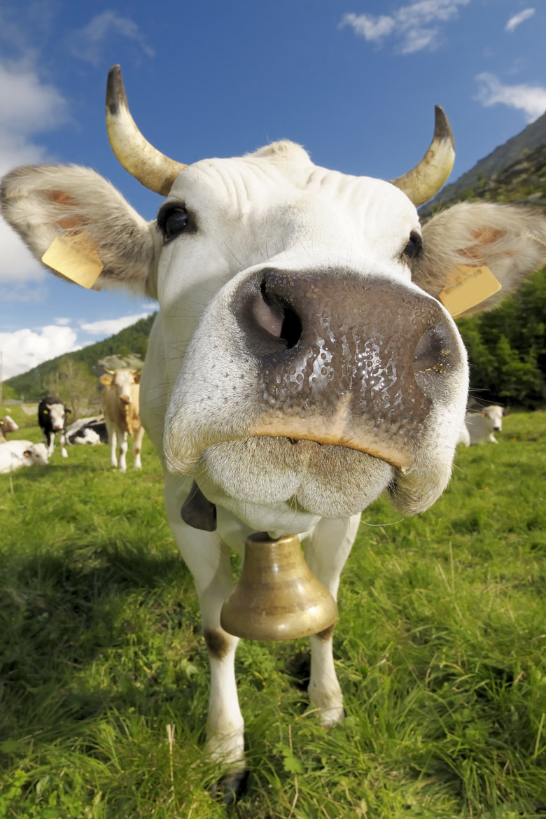 Photograph funny cow by Marco Barone on 500px