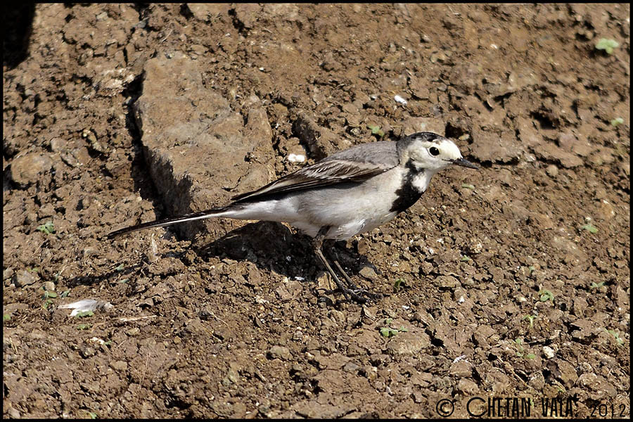 Photograph White Wagtail by chetan vala on 500px