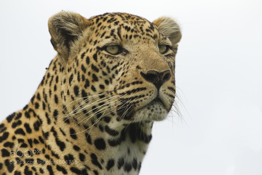 Full frame imafe of another Leopard (this time a fine Male), from Kwando, Botswana