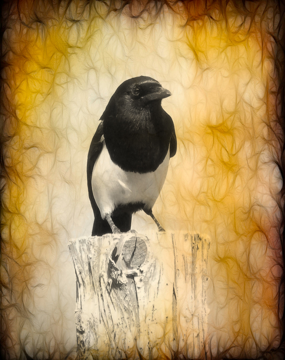 Photograph Magpie by Photohabit Srinivasan on 500px