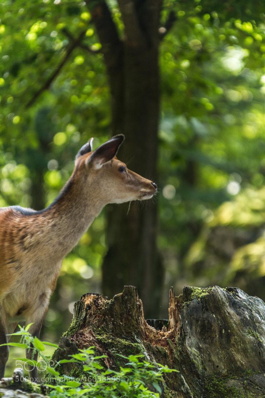 Photograph Deer ;-) by Stephan Scherz on 500px