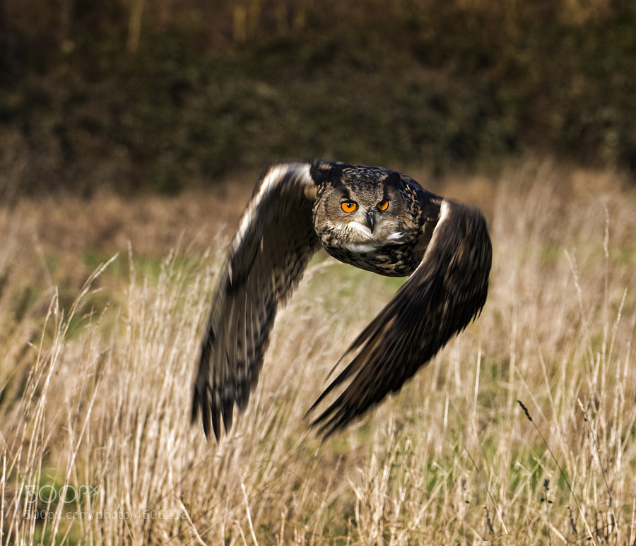 Eagle owl on the hunt,i used a slow shutter/pan on this one.(c)