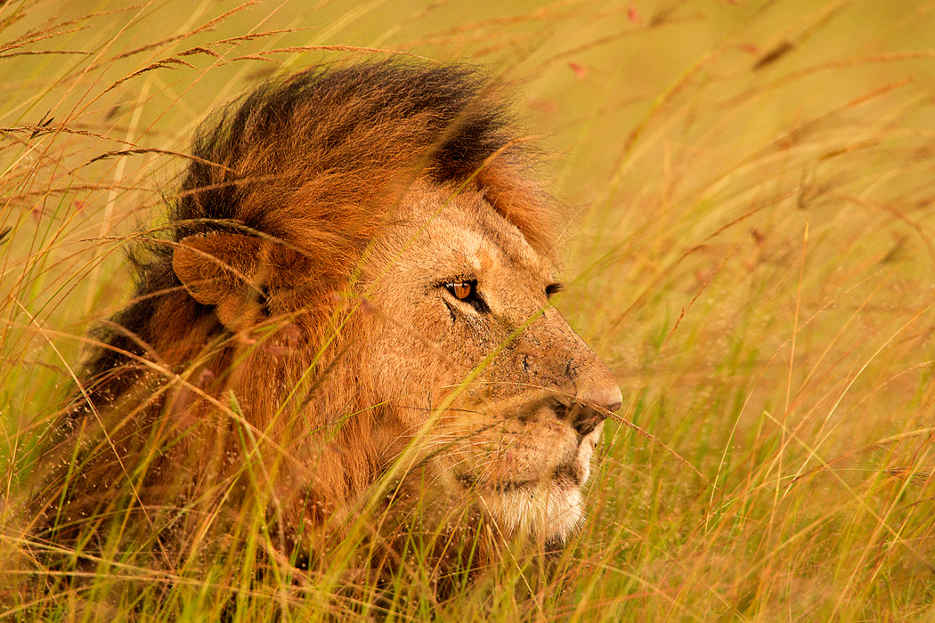 Photograph King of the Mara by Stephen Oachs on 500px